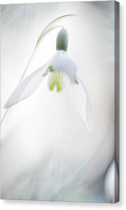 Canvas Print featuring the photograph Snowdrop A Fragile Hint Of Spring by Dirk Ercken