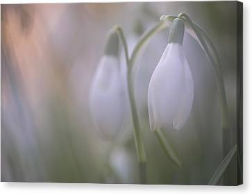 Snowdrop Canvas Print by Ian Hufton