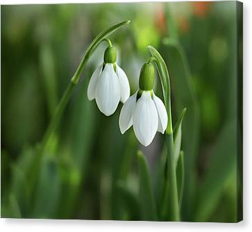 Canvas Print featuring the photograph Snowdrops by Mary Jo Allen