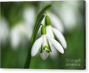 Snowdrops  Canvas Print by Sharon Talson