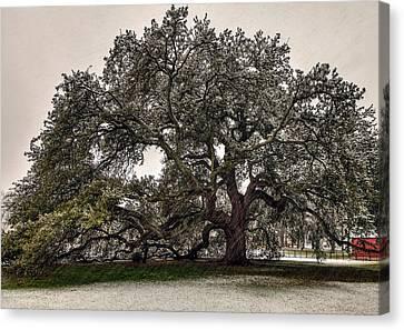 Snowfall On Emancipation Oak Tree Canvas Print by Jerry Gammon