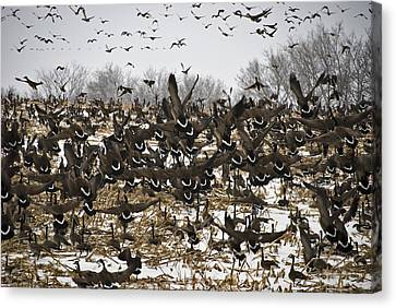 Snowgeese Galore Canvas Print