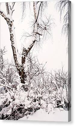 Snowy Birch Tree. Russia Canvas Print by Jenny Rainbow