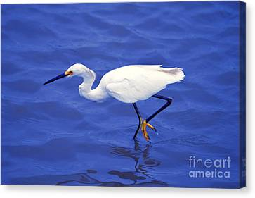 Canvas Print featuring the photograph Snowy Egret 1 by Bill Holkham