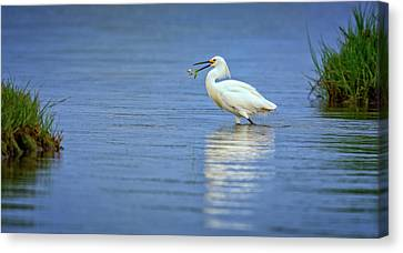 Snowy Egret At Dinner Canvas Print