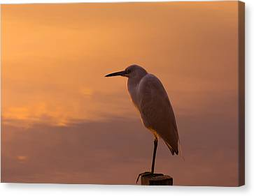 Snowy Egret At Sunset Canvas Print