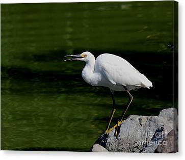 Snowy Egret Barking Canvas Print by Wingsdomain Art and Photography