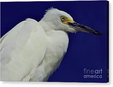 Snowy Egret Beauty Canvas Print