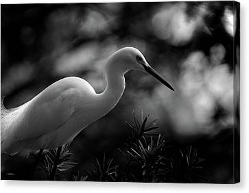 Snowy Egret Bw Canvas Print by Travis Burgess