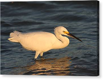 Canvas Print featuring the photograph Snowy Egret By Sunset by Christiane Schulze Art And Photography