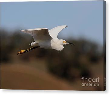 Bif Canvas Print - Snowy Egret In Flight 2 by Wingsdomain Art and Photography
