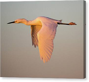 Snowy Egret In Flight At Sunset Canvas Print