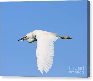 Bif Canvas Print - Snowy Egret In Flight by Wingsdomain Art and Photography