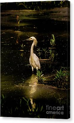 Snowy Egret In Low Light Canvas Print by Robert Frederick