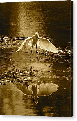 Snowy Egret Landing With Golden Tones Canvas Print
