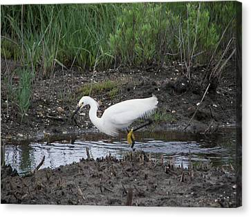 Canvas Print featuring the photograph Snowy Egret  On The Prowl by Daniel Hebard