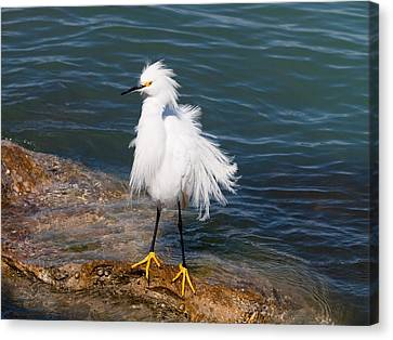 Canvas Print featuring the photograph Snowy Egret by Phil Stone