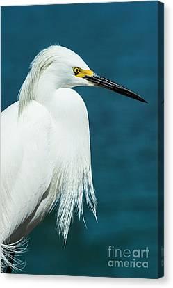 Snowy Egret Portrait Canvas Print