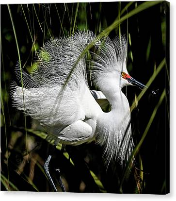 Canvas Print featuring the photograph Snowy Egret by Steven Sparks