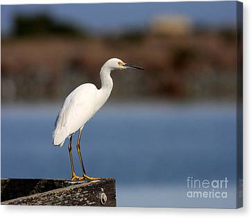 Bif Canvas Print - Snowy Egret Waiting by Wingsdomain Art and Photography