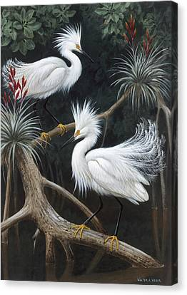 Snowy Egrets Display Their Courtship Canvas Print by Walter A. Weber