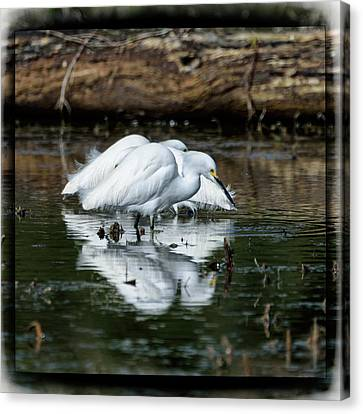 Snowy Egrets Feeding - Digital Framing Canvas Print