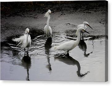 Snowy Egrets I Canvas Print by Jane Melgaard