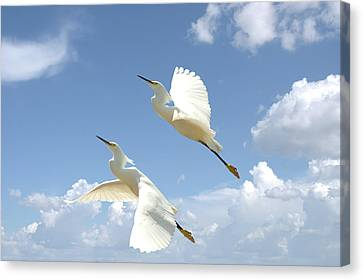 Snowy Egrets In Flight Canvas Print