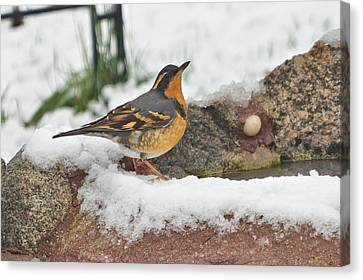 Snowy Friday The 13th Varied Thrush Day Canvas Print by Kris Horton