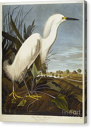 Heron Canvas Print - Snowy Heron by John James Audubon