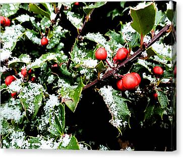 Snowy Holly Canvas Print