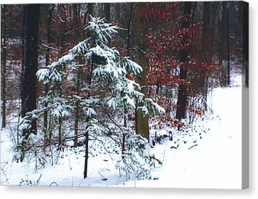 Snowy Little Fir Canvas Print by Sandy Moulder