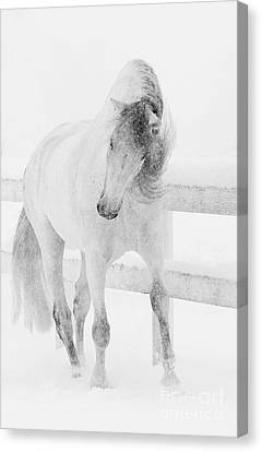 Snowy Mare Shakes Her Head Canvas Print