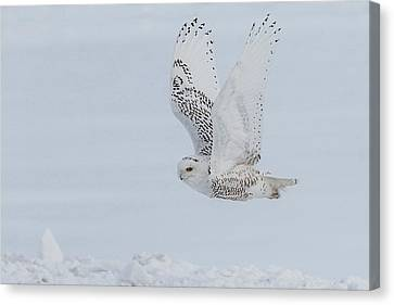 Canvas Print featuring the photograph Snowy Owl #3/3 by Patti Deters