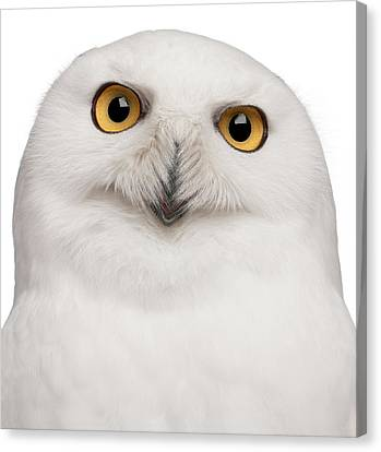 Snowy Owl -bubo Scandiacus Canvas Print by Life On White