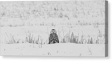 Snowy Owl In Snowy Field Canvas Print by Carrie Ann Grippo-Pike