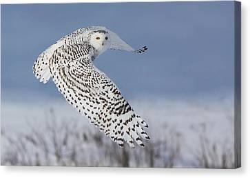 Hunting Bird Canvas Print - Snowy Owl by Mircea Costina