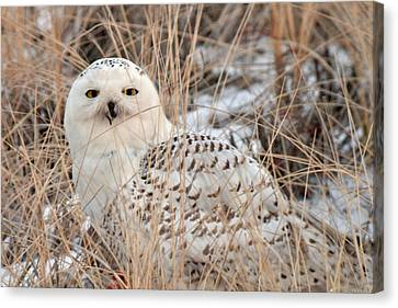 Snowy Owl Canvas Print by Nancy Landry