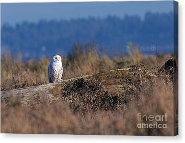 Canvas Print featuring the photograph Snowy Owl On Log by Sharon Talson