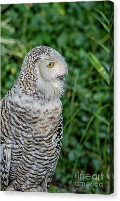 Canvas Print featuring the photograph Snowy Owl by Patricia Hofmeester