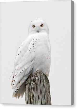 Snowy Owl Portrait Canvas Print by Timothy McIntyre