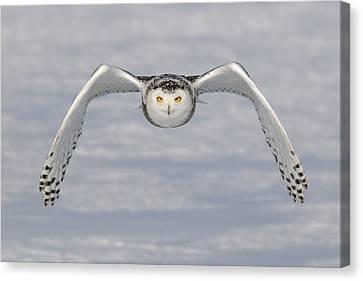 Snowy Owl Canvas Print by Scott  Linstead