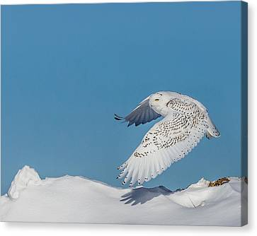 Canvas Print featuring the photograph Snowy Owl - Taking Flighty by Dan Traun