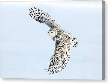 Snowy Owl Topside Canvas Print by Scott  Linstead