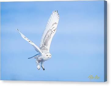 Canvas Print featuring the photograph Snowy Owls Soaring by Rikk Flohr