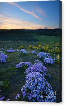 Snowy Phlox Sunset Canvas Print by Mike Dawson