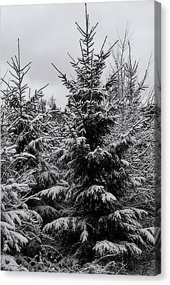 Snowy Spruce Trees Canvas Print