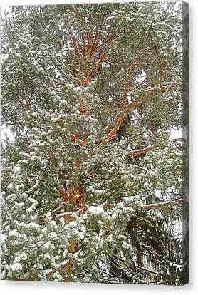 Snowy Tree Canvas Print by Beth Akerman