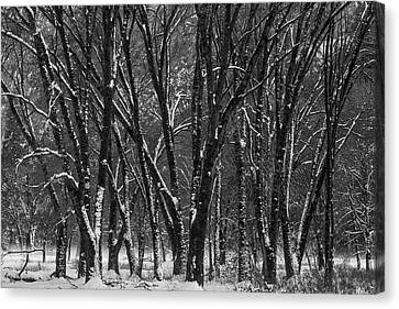 Snowy Yosemite Woods In Black And White Canvas Print by Garry Gay