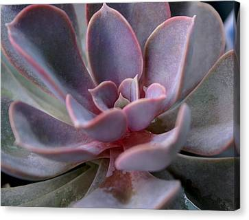 So Succulent Canvas Print by Debbie May